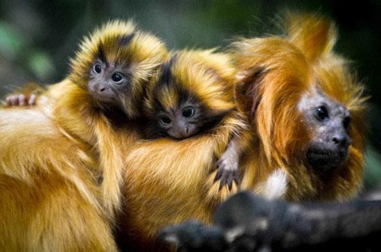 Những chú khỉ sư tử con