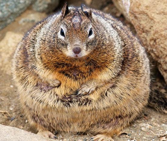 Sóc béo có cân nặng gấp đôi kể từ khi khách đến công viên cho nó ăn