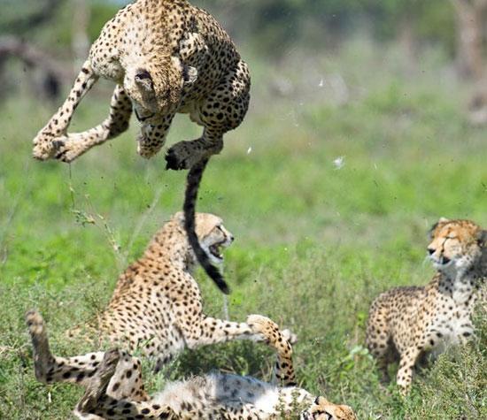 Trận đấu giữa các con báo ở khu bảo tồn Ngorongoro