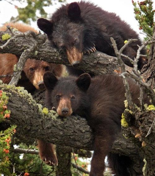 3 chú gấu thư giãn trên cây ở độ cao hơn 12m