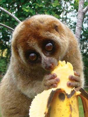Cu li là loài thú quý và cổ trong bộ linh trưởng Primates