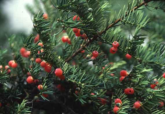 Phát hiện 50 ha thông đỏ ở Vườn Quốc gia Bidoup-Núi Bà