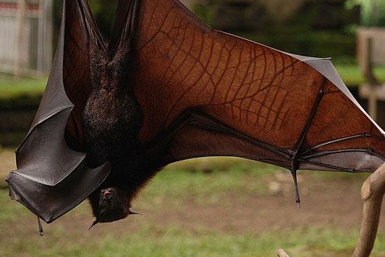 Loài dơi Indonesia đối mặt với nguy cơ tuyệt chủng