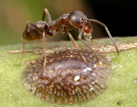 Kiến Linepithema humile
