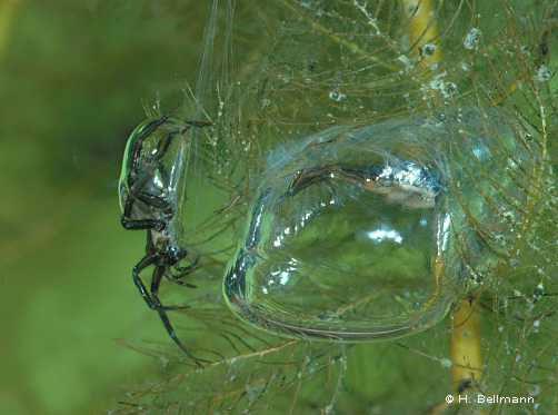 Nhện nước  Argyroneta aquatica