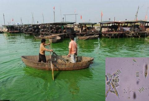 Tảo lục đe dọa bờ biển phía đông Trung Quốc
