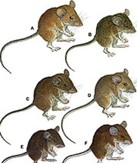Phát hiện 7 loài chuột mới ở Philippines