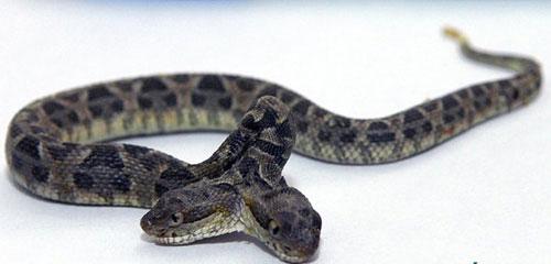 Rợn mình hình ảnh kinh dị của rắn hai đầu