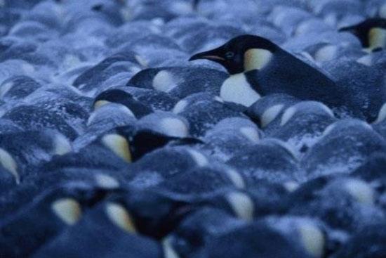 Bí quyết giữ ấm của chim cánh cụt