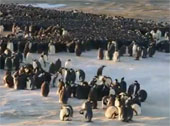 Video: Bí quyết giữ ấm của chim cánh cụt