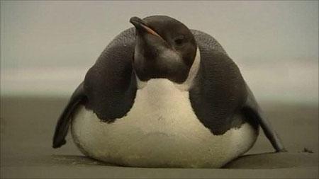 """Chú chim cánh cụt Hoàng đế bị """"lạc đường"""" ở New Zealand."""