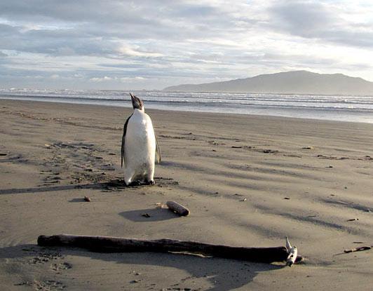 Chim cánh cụt lạc vào New Zealand