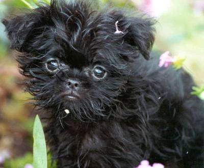 Chó khỉ Affenpinscher