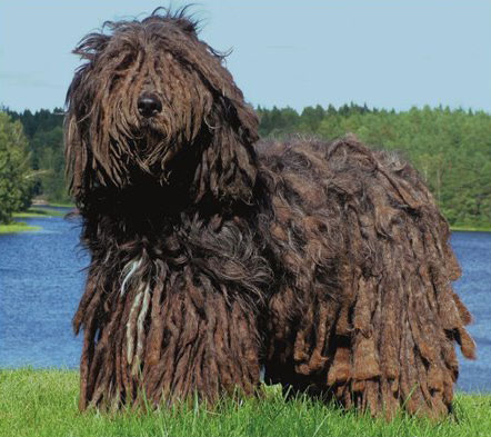 Chó vẩy Bergamasco