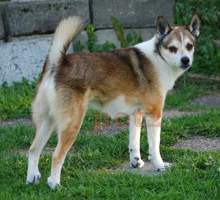 Chó sáu ngón chân Lundehund