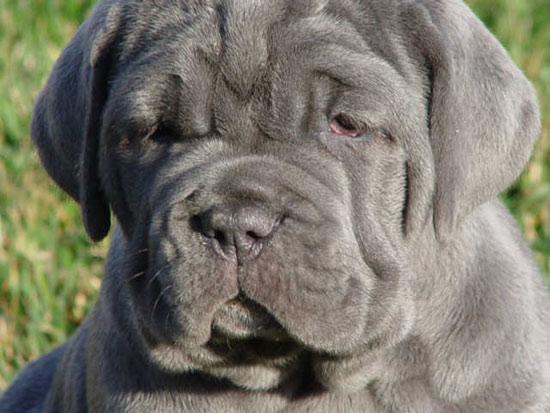 Chó khổng lồ Neapolitan Mastiff