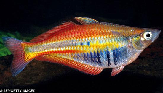 Cá bảy màu sắc cầu vồng – Chilatherina Alleni.