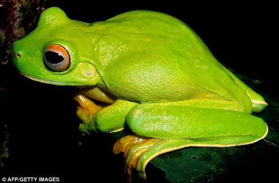 Loài ếch xanh mắt đỏ- Litoria dux.