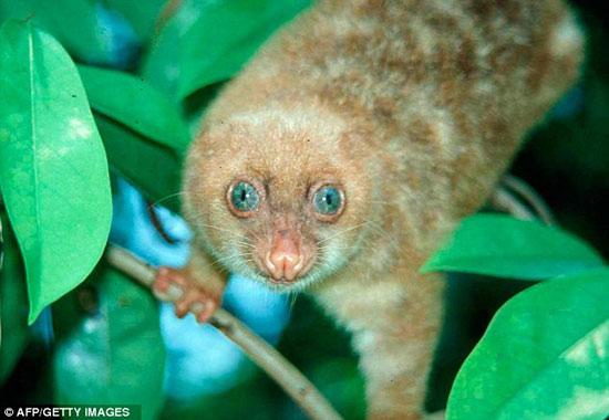 Loài động vật mắt xanh có tên gọi Cuscus.