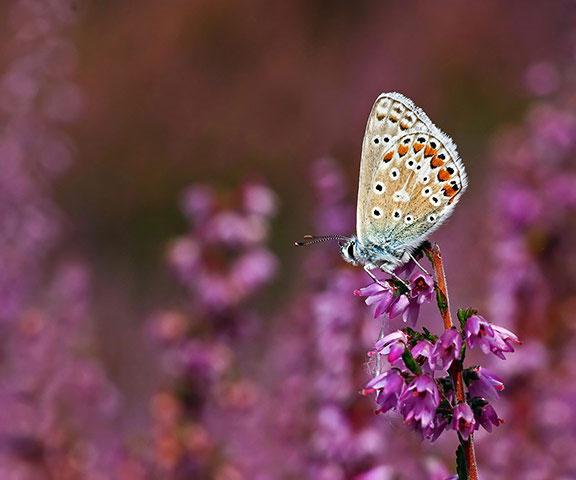 Loài bướm Polyommatus icarus ở Anh. Năm ngoái, số lượng loài này đã giảm 1/5.