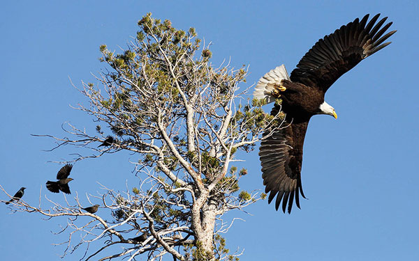 Một con đại bàng đầu trọc cất cánh đi săn mồi.