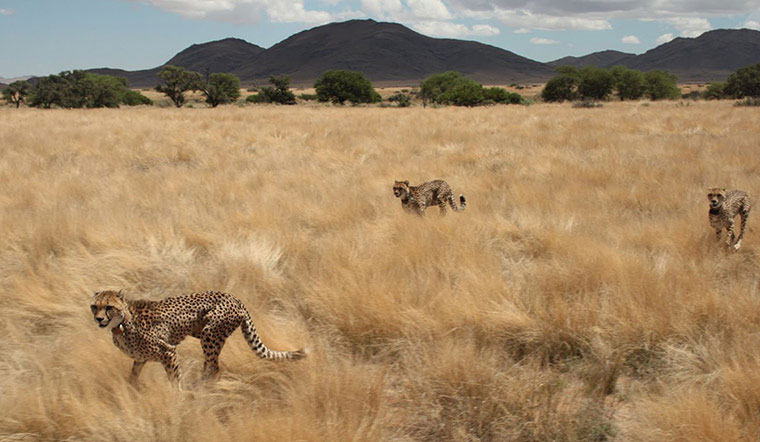 Những con báo Cheetah đeo trên mình những chiếc vòng cổ phát tín hiệu để theo dõi hành trình của chúng. Đây là dự án nhằm bảo tồn động vật hoang dã ở Namibia.