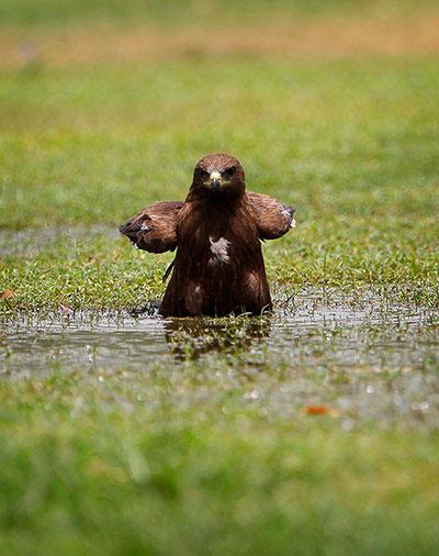 """Dáng đứng """"bất khuất"""" của một con diều hâu trên ao nước ở cánh đồng cỏ New Delhi (Ấn Độ)."""