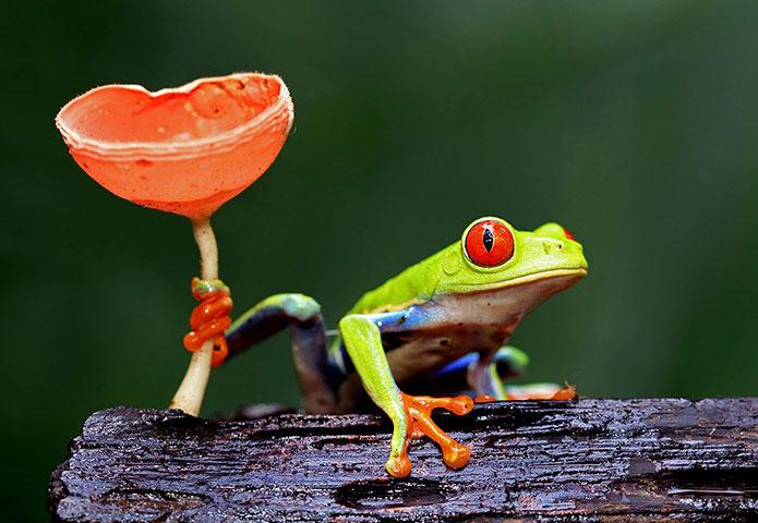 Vẻ sặc sỡ của loài ếch cây mắt đỏ (Agalychnis callidryas).