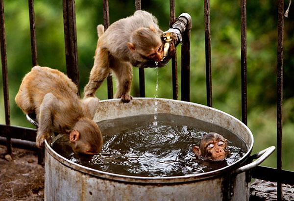Những chú khỉ con tìm mọi cách để thỏa mãn cơn khát và nóng giữa trưa hè oi ả ở ngoại ô Jammu, Ấn Độ.