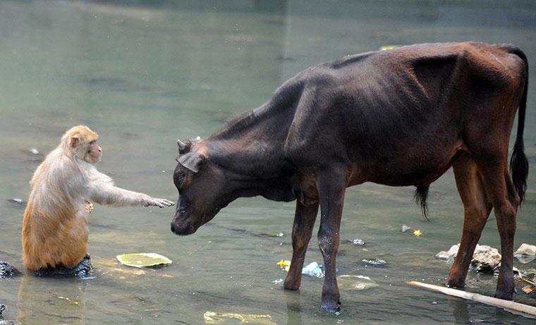 Khỉ và bò rừng rủ nhau ra sông tắm mát. Nhiệt độ tại thủ đô Kathmandu ở Nepal đang tăng cao khi vào hè.