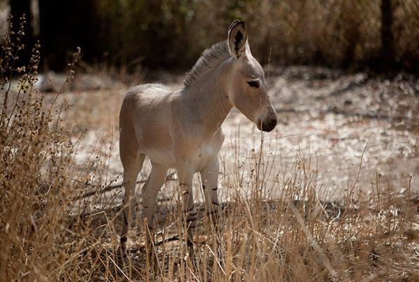 Chú ngựa non Somali một tháng tuổi ở công viên safari Ramat Gan (Israel).