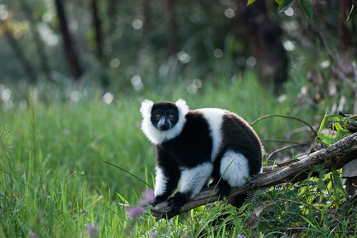Loài vượn cáo cổ khoang đen trắng trong khu bảo tồn thiên nhiên ở Andasibe, Madagascar. Đây là loài đang có nguy cơ tuyệt chủng.