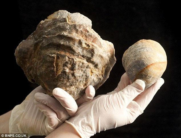 Tìm kiếm ngọc trong con trai 100 triệu tuổi