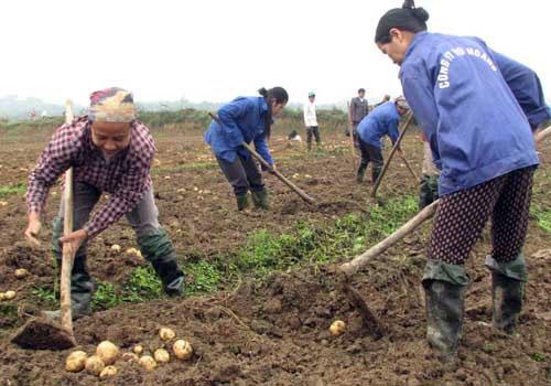 Phú Thọ sản xuất thành công khoai tây sạch bệnh