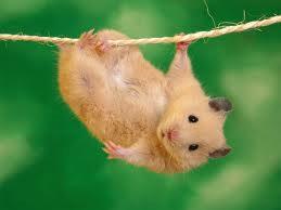 Video: Chuột giả chết