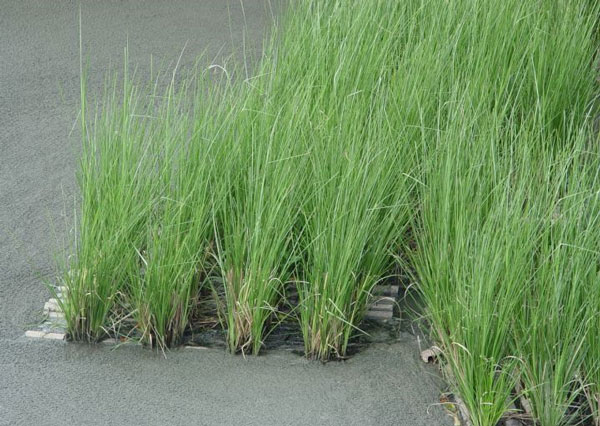 Sử dụng cỏ Vertiver để xử lý nước thải hiệu quả
