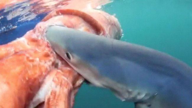 Con cá mập xanh rỉa thịt con mực.