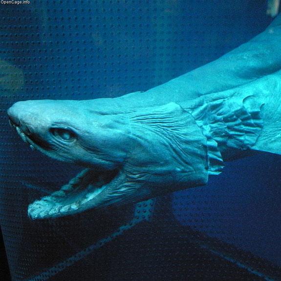 Cá mập diềm