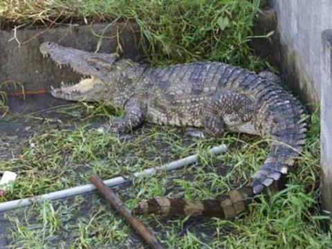 Tháng 8/2011, tại khu vực suối Bời Lời, xã Hưng Thuận, tỉnh Tây Ninh, người dân đã phát hiện và bắt được con cá sấu nặng gần 80kg. Theo nhận định của một số người, đây có thể là con cá sấu sổng chuồng từ một trang trại nuôi cá sấu ở gần suối Bời Lời