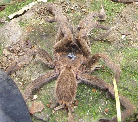Các nhà khoa học Hà Tĩnh ghi nhận hình ảnh con nhện độc khổng lồ ở thôn Lạc Thắng, xã Kỳ Lạc, huyện Kỳ Anh. Chiều dài thân của con nhện khoảng 6cm, rộng 3cm, trọng lượng 6 gram, miệng rộng có hai răng cửa lớn, kích thước răng dài 10mm. Theo tiến sĩ Phạm Đình Sắc, Viện Sinh thái và Tài nguyên Sinh vật, con nhện nói trên thuộc họ nhện Theraphosidae, còn gọi là nhện lông, một trong những họ lớn của bộ nhện Araneae, với 883 loài thuộc 11 giống đã được ghi nhận trên thế giới.