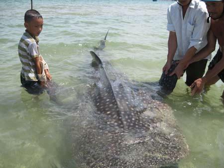 Bắt được cá voi nhám tại Huế