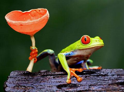 Con ếch bám vào một cây nấm để không bị trượt khỏi khúc gỗ ướt trong rừng nhiệt đới Sarapiqui, Costa Rica.