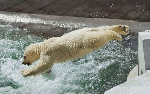 Gấu trắng lao xuống nước trong công viên tại Moscow, Nga.