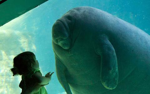 Một đứa trẻ tỏ ra sửng sốt khi thấy con lợn biển trong công viên hải dương Seaworld, thành phố Orlando, bang Florida, Mỹ.