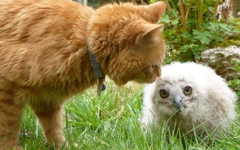 Mèo chơi với đại bàng con trong vườn thú thành phố Linton, hạt Cambridgeshire, Anh.