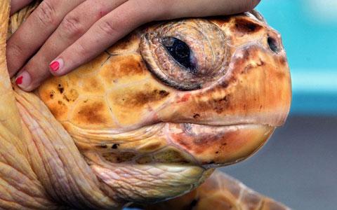 Kiwi, tên của con rùa có khối lượng hơn 30kg, chuẩn bị trở lại môi trường hoang dã tại Juno Beach, bang Florida, Mỹ.