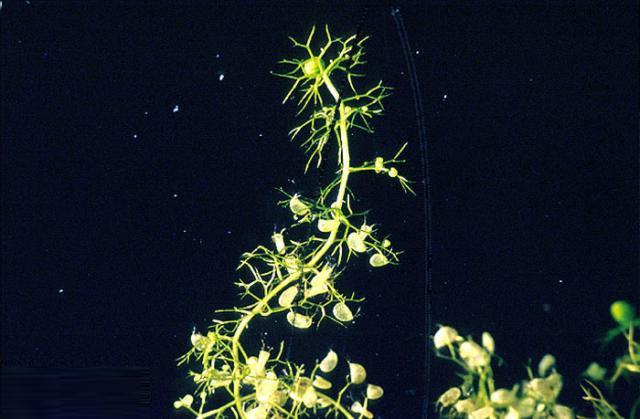 Cây Bladderwort được xem là thực vật ăn thịt phổ biến nhất với hơn 200 loài. Chúng là loài ăn thịt sống dưới nước hoặc những vùng đất ngập nước, có các bẫy giống như bong bóng nhỏ trên lá. Những chiếc bẫy có các van được thiết lập bởi nhiều tuyến, bên trong thân cây sẽ liên tục bơm nước ra ngoài, và nó sẽ tạo ra một áp lực bên trong cái túi của cây.  Khi con mồi đi ngang qua cây, mồi sẽ tạo ra một rung động nhỏ, và kích thích những sợi lông siêu nhạy cảm khiến bẫy hút nước và hút cả các con mồi. Tiếp theo nó sẽ tiết ra các chất men tiêu hóa để hòa tan xác con mồi, và các chất dinh dưỡng từ con mồi này sẽ được tiêu thụ trong vài giờ. Sau đó, loài cây lại mở ra và cho nước vào, bơm phồng cái bẫy như lúc ban đầu. Bladderwort có thể bắt tới 1.000 con mồi mỗi ngày. Mồi là các sinh vật như côn trùng, giun và động vật nhỏ dưới nước.
