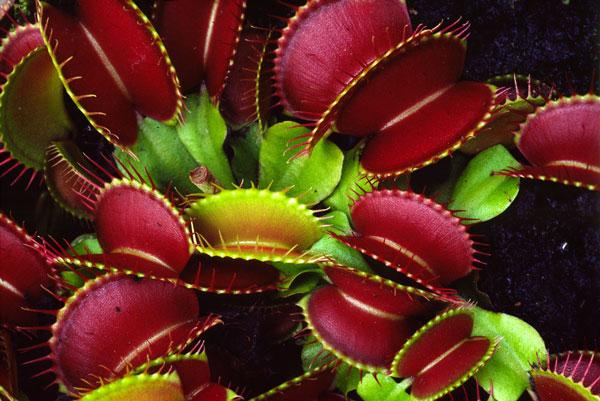 Bẫy ruồi Venus flytrap có tên khoa học là Dionaea muscipula. Cây bắt ruồi Venus có những chiếc lá kỳ lạ với hai mảnh có khớp nối với nhau. Mỗi lá đều có mép gai nhọn. Nó bắt và tiêu hoá con mồi (phần lớn là các loài côn trùng và động vật thuộc lớp nhện) bằng cái bẫy được tạo nên từ chiếc lá. Hệ thống hoạt động của cái bẫy là sự kết hợp giữa sức đàn hồi, sức phồng và sự phát triển.  Loài cây này chỉ mọc ở vùng Carolina, Mỹ. Lá cây có hình hai nắp chai úp vào nhau với hàm răng tua tủa. Bên trong lá cây là hai sợi tóc rất nhạy cảm. Chỉ cần côn trùng đậu và chạm vào hai sợi tóc này, lá cây lập tức ụp lại khiến cho côn trùng không thể thoát ra. Bên trong, chất phân hủy sẽ trào ra giết chết nạn nhân và biến chúng thành chất sinh dưỡng cho cây. Quá trình tiêu hoá diễn ra trong vòng 10 ngày, sau đó, cái bẫy lại được mở ra và tái sử dụng. Thông thường, mỗi một cái bẫy hiếm khi bắt 3 con mồi trong suốt vòng đời của mình.