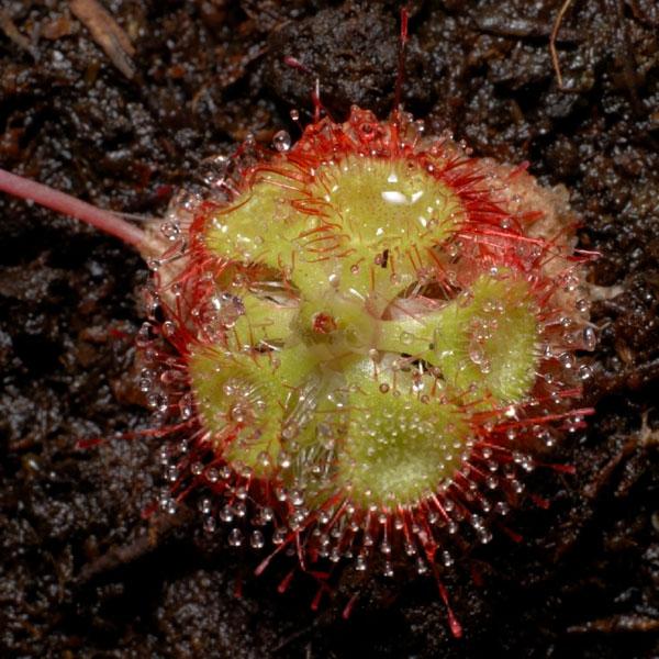 Cây gọng vó, tên khoa học là Drosera burmannii Vahl. Cây gọng vó có hơn 170 phân loài. Chúng là loài cây ăn thịt phổ biến trên thế giới, nó được tìm thấy ở khắp các châu lục, trừ Nam Cực. Chúng sống trong các đầm lầy hay các bãi than bùn. Những chiếc lá của chúng có rất nhiều lông tuyến, ở đầu những lông tuyến này có một chất lỏng dính trông giống như một giọt nước giúp thu hút các loài côn trùng. Đó chính là cái bẫy.  Nếu côn trùng sa bẫy và cố gắng kháng cự thì sẽ chết trong vòng 15 phút do kiệt sức và do các chất nhầy bao quanh khiến chúng bị ngạt thở. Những chiếc lông tuyến của cây bắt đầu tiết ra chất tiêu hoá và con mồi sẽ bị 'ăn' hoàn toàn trong vòng một đến hai ngày. Trong thời gian đó, những chiếc lông tuyến sẽ không thực hiện bất kỳ kích thích hoá học nào khác và trở lại vị trí ban đầu của chúng. Sau khi nhấm nháp con mồi, những phần còn lại không được tiêu hoá của con mồi sẽ bị những luồng gió thổi bay.