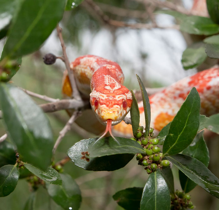 Rắn biết điều chỉnh quy mô tiếp xúc và cơ bắp để tạo ma sát leo lên cây